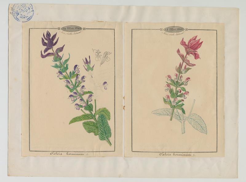 BARLA Jean-Baptiste (attribué à) : Sauge verte, plante à fleurs