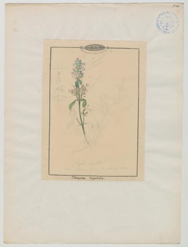 BARLA Jean-Baptiste (attribué à) : Népéta à feuilles lancéolées, Petit népéta, plante à fleurs