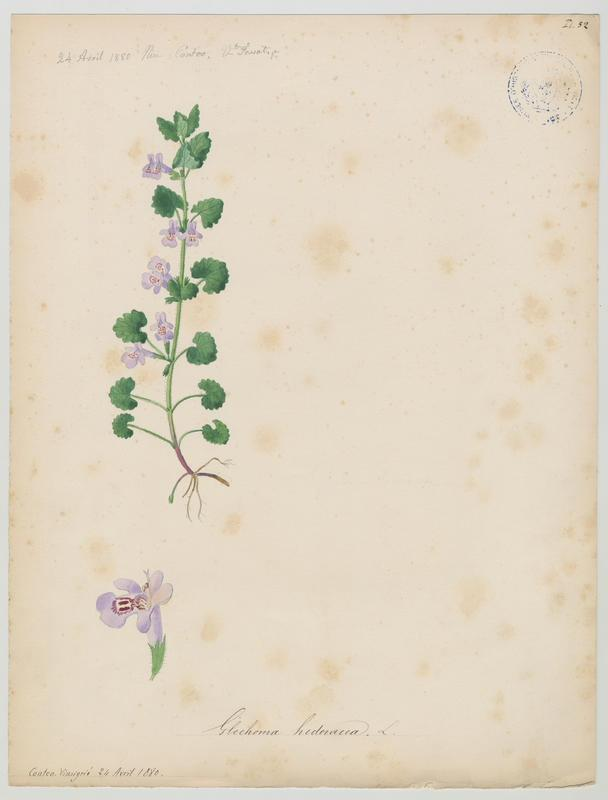 FOSSAT Vincent (aquarelliste, peintre) : Gléchome lierre terrestre, plante à fleurs