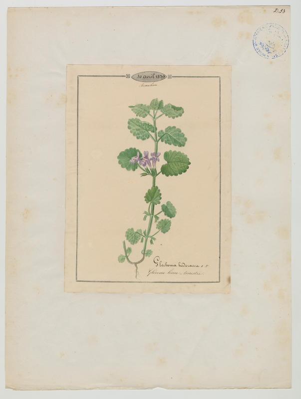 BARLA Jean-Baptiste (attribué à) : Glécome lierre-terrestre, plante à fleurs