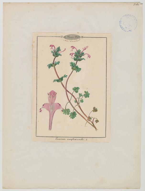 BARLA Jean-Baptiste (attribué à) : Lamier à feuilles embrassantes, plante à fleurs