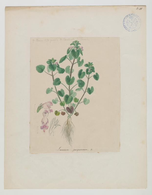 FOSSAT Vincent (aquarelliste, peintre) : Lamier pourpre, plante à fleurs
