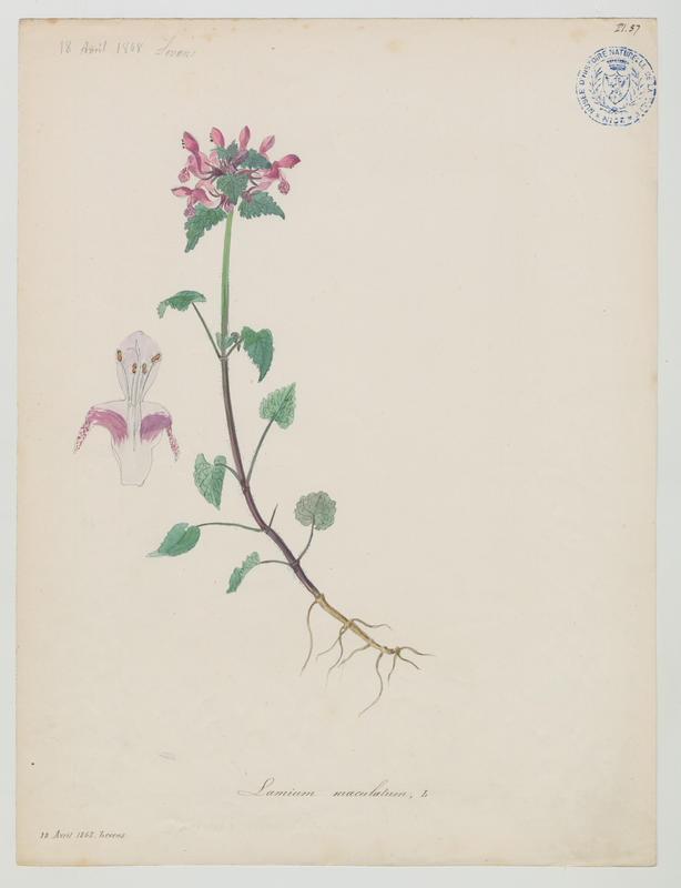 BARLA Jean-Baptiste (attribué à) : Lamier à feuilles panachées, plante à fleurs