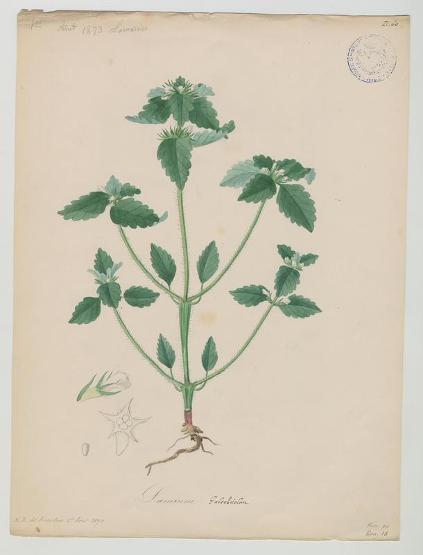 BARLA Jean-Baptiste (attribué à) : Ortie royale, plante à fleurs