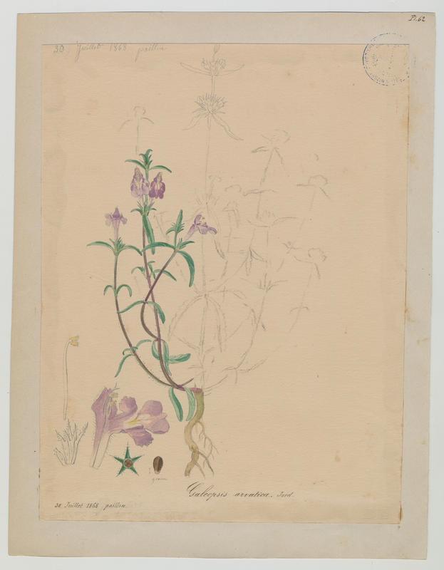 Galéopsis tétrahit ; Galeopsis de Friches ; plante à fleurs_0