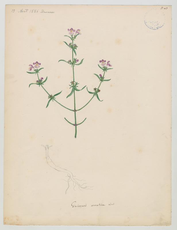 BARLA Jean-Baptiste (attribué à) : Galéopsis tétrahit, Galeopsis de Friches, plante à fleurs