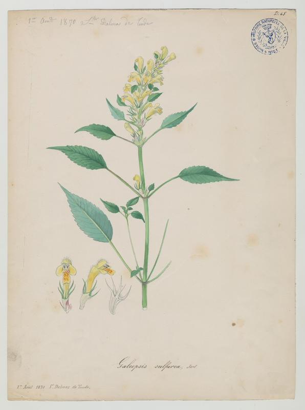 Galéopsis pubescent ; plante à fleurs_0