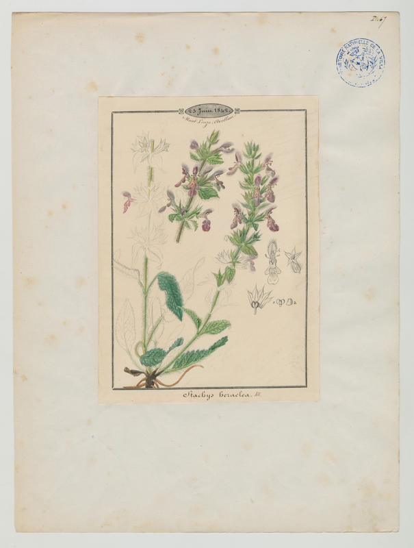 BARLA Jean-Baptiste (attribué à) : Épiaire d'Héraclée, plante à fleurs