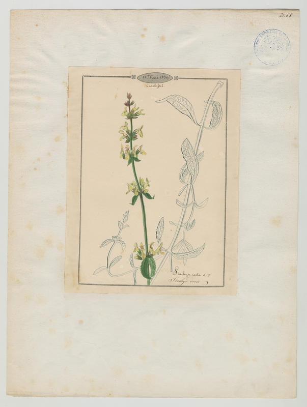 BARLA Jean-Baptiste (attribué à) : Stachys droit, plante à fleurs
