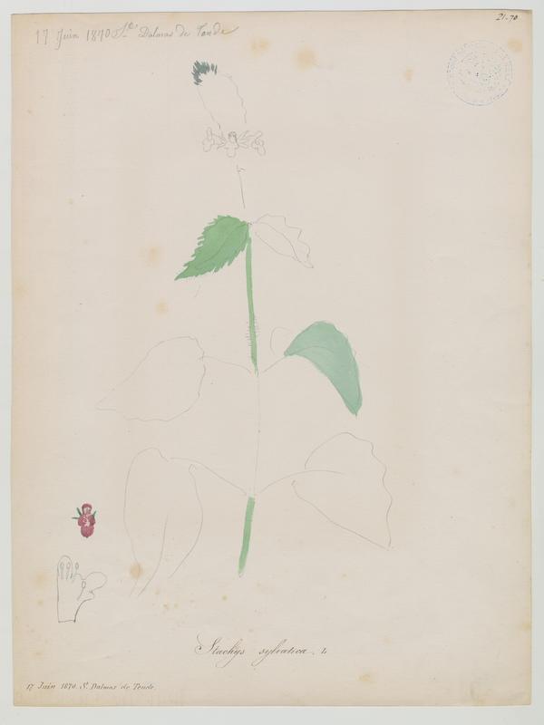 BARLA Jean-Baptiste (attribué à) : Stachys des bois, plante à fleurs