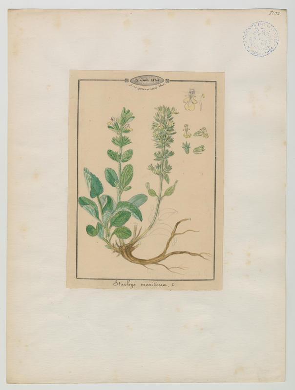 BARLA Jean-Baptiste (attribué à) : Épiaire maritime, plante à fleurs