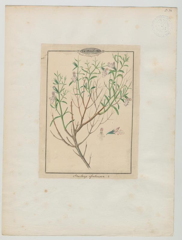 BARLA Jean-Baptiste (attribué à) : Épiaire poisseuse, plante à fleurs