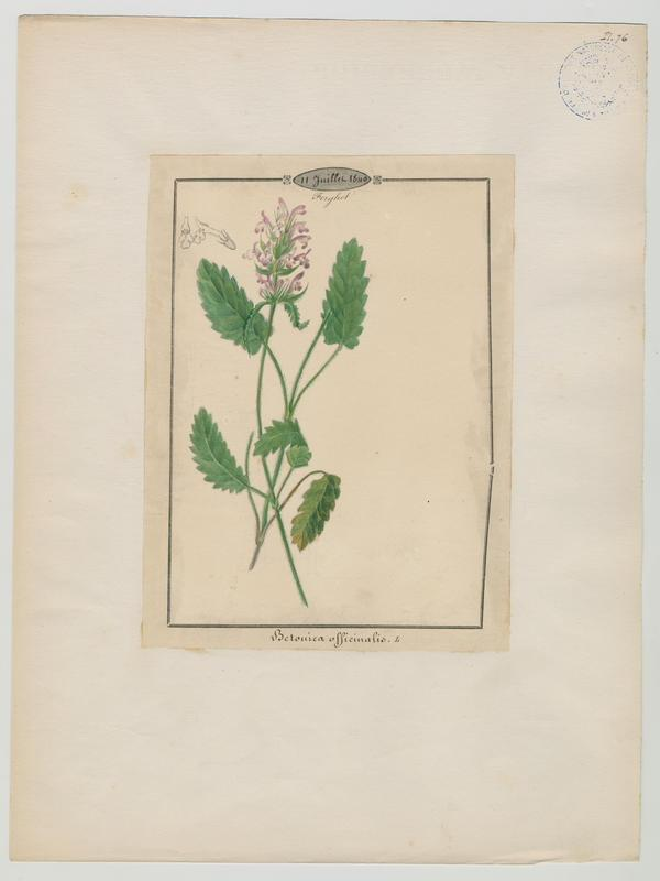 BARLA Jean-Baptiste (attribué à) : Epiaire officinal, Bétoine officinal, plante à fleurs