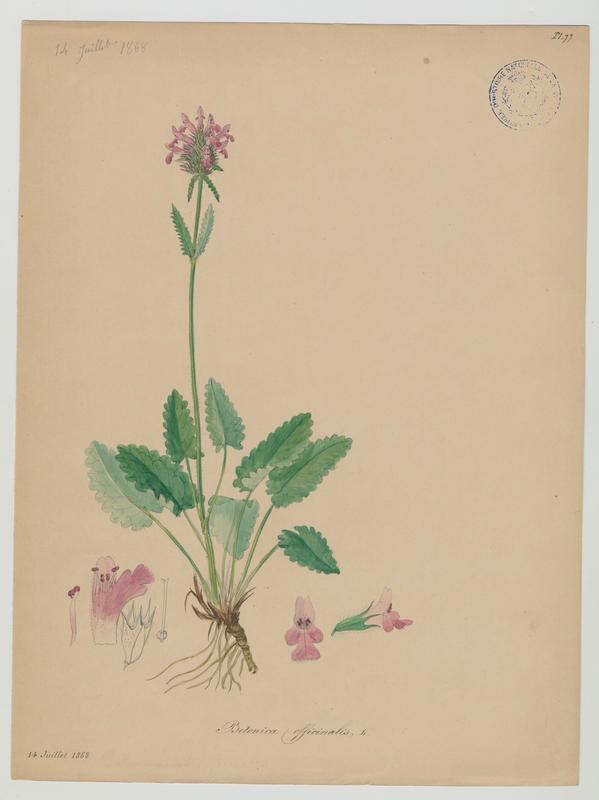 BARLA Jean-Baptiste (attribué à) : Epiaire officinal, Bétoine officinale, plante à fleurs