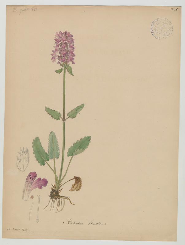 Épiaire du mont Prada ; Épiaire hérissée ; plante à fleurs_0