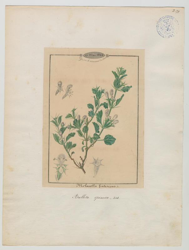 BARLA Jean-Baptiste (attribué à) : Epiaire épineuse, plante à fleurs
