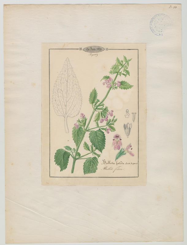 BARLA Jean-Baptiste (attribué à) : Ballote fétide, plante à fleurs