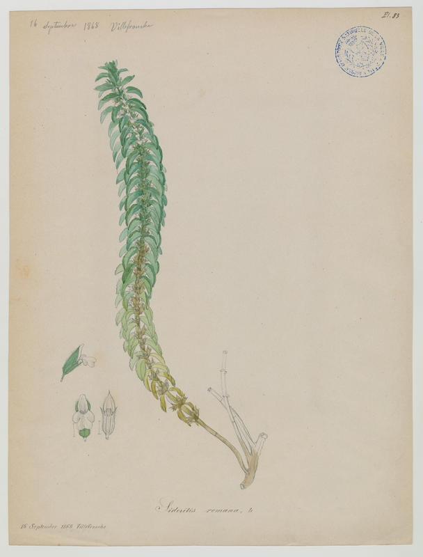Crapaudine romaine ; plante à fleurs_0