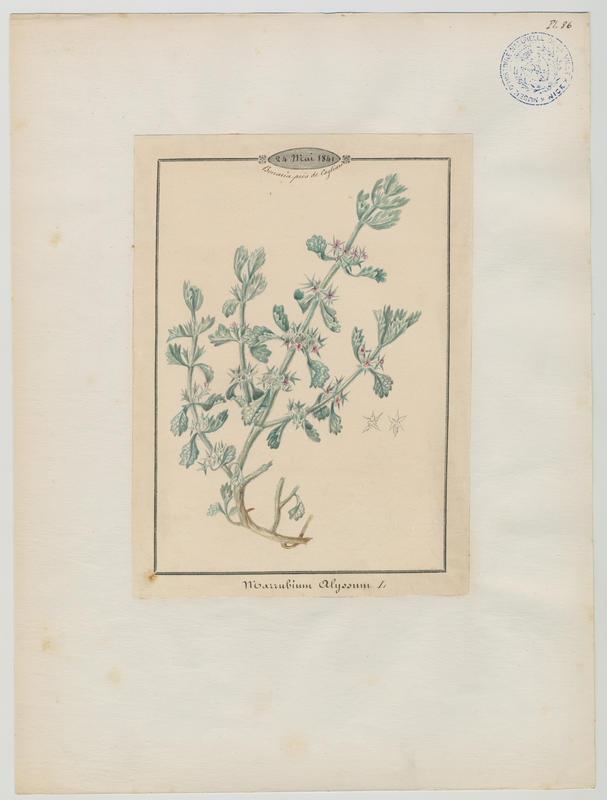 BARLA Jean-Baptiste (attribué à) : Marrube rose, plante à fleurs