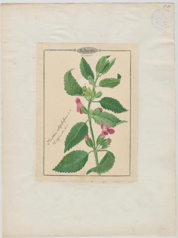Mélissot des bois ; plante à fleurs_0