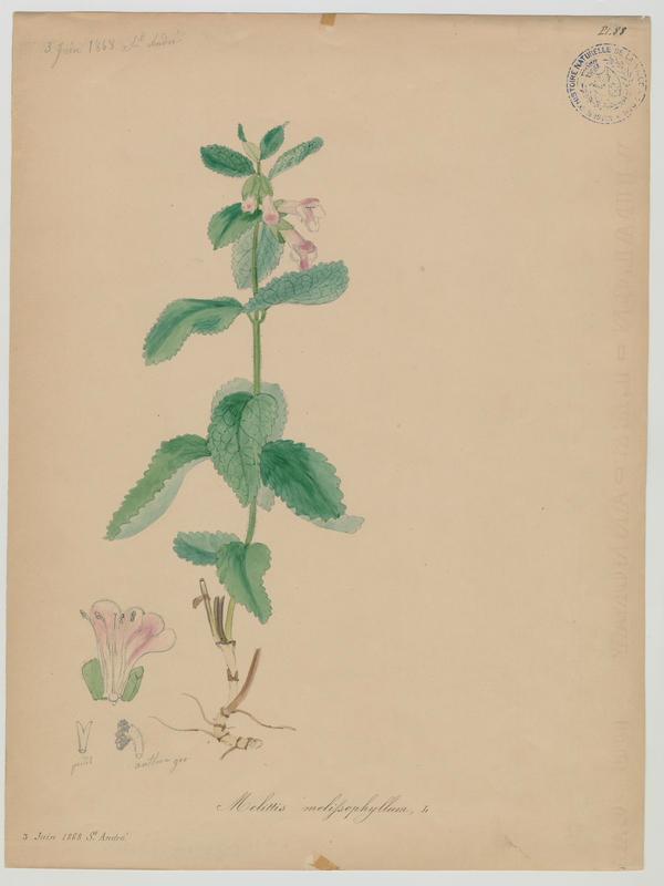 BARLA Jean-Baptiste (attribué à) : Mélissot des bois, plante à fleurs
