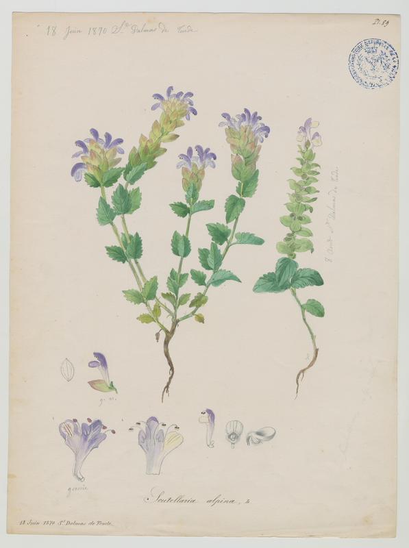 BARLA Jean-Baptiste (attribué à) : Scutellaire des Alpes, plante à fleurs