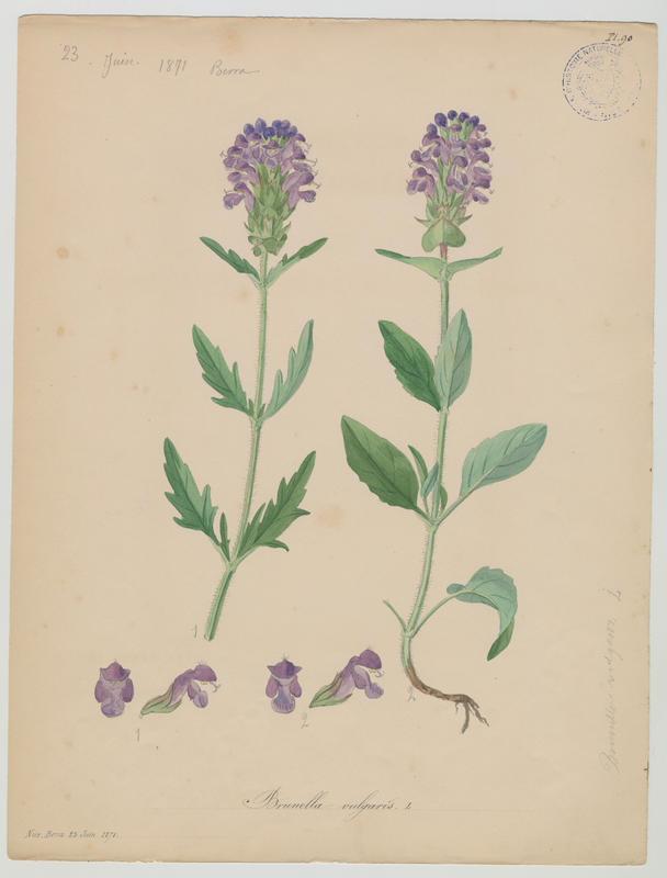 Brunelle commune ; plante à fleurs_0