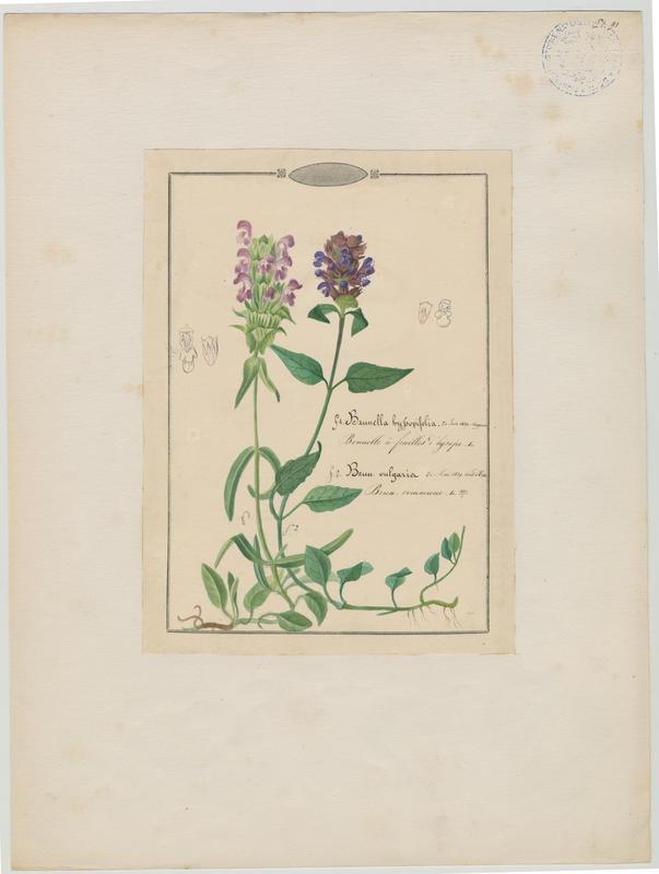 BARLA Jean-Baptiste (attribué à) : Brunelle commune, plante à fleurs