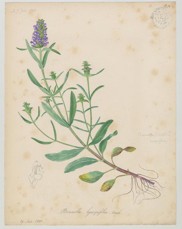 Brunelle à feuilles d'hysope ; plante à fleurs_0