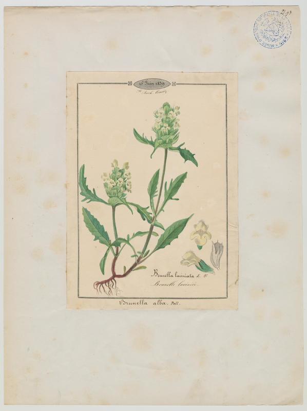 BARLA Jean-Baptiste (attribué à) : Brunelle laciniée, plante à fleurs