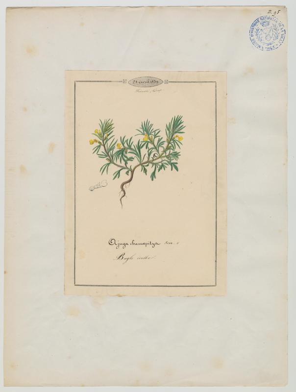 Bugle petit-pin ; plante à fleurs_0