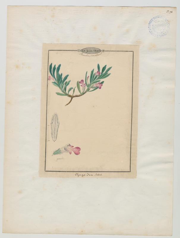 Bugle ivette ; plante à fleurs_0