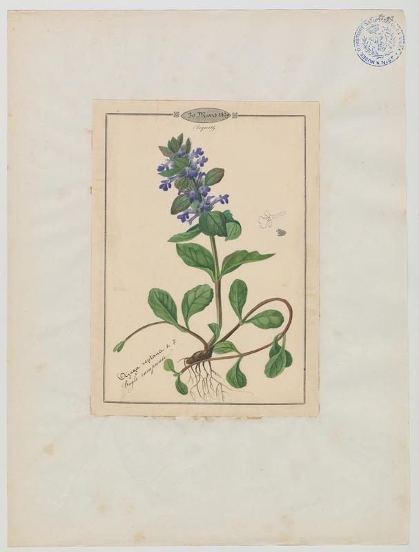 BARLA Jean-Baptiste (attribué à) : Bugle rampante, plante à fleurs