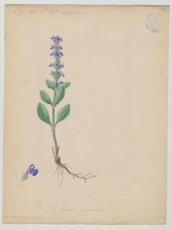 BARLA Jean-Baptiste (attribué à) : Bugle de Genève, plante à fleurs