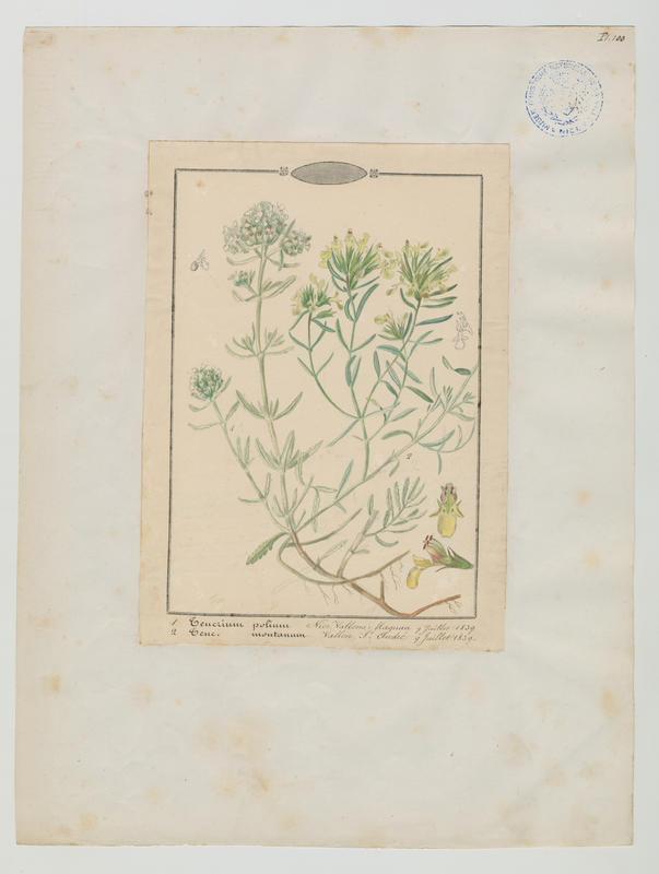 Germandrée des montagnes ; plante à fleurs_0