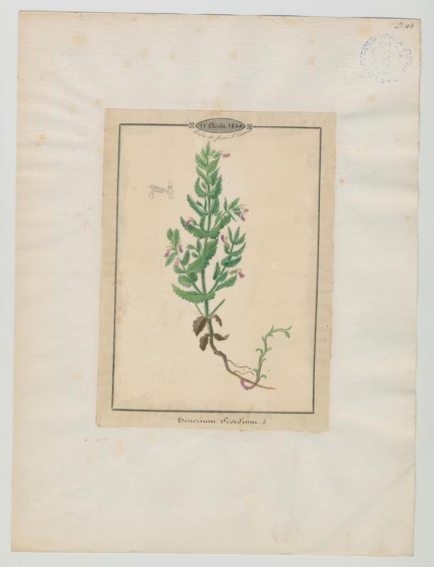 BARLA Jean-Baptiste (attribué à) : Germandrée d'eau ;Germandrée  des maris, plante à fleurs