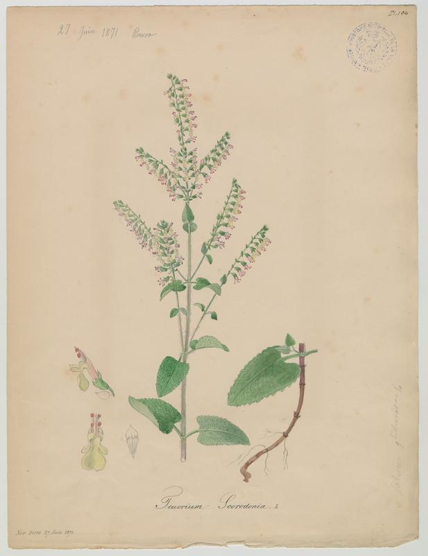 BARLA Jean-Baptiste (attribué à) : Germandrée scorodoine, plante à fleurs