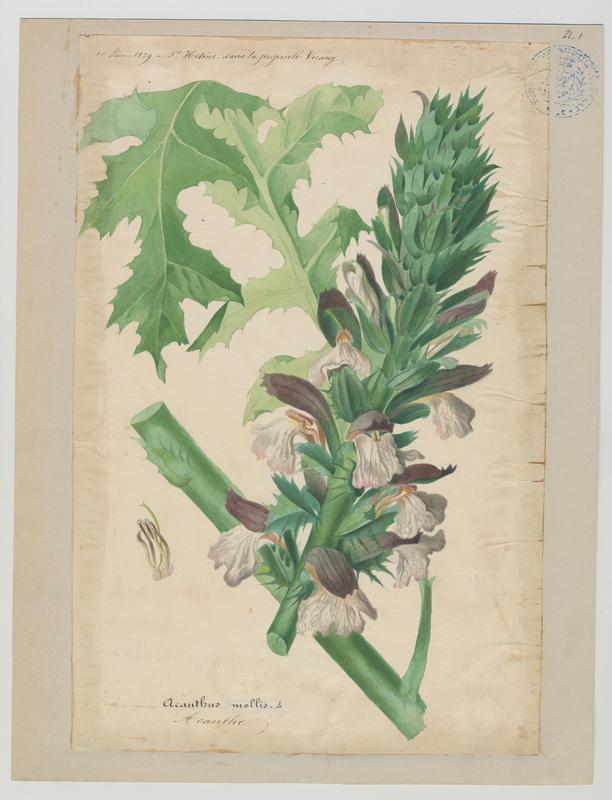 BARLA Jean-Baptiste (attribué à) : Acanthe, plante à fleurs
