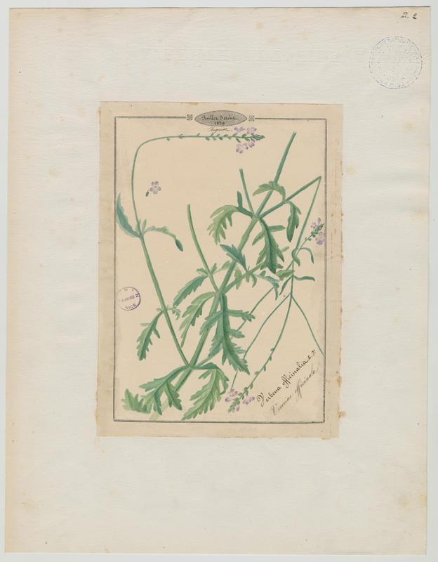 BARLA Jean-Baptiste (attribué à) : Verveine officinale, plante à fleurs