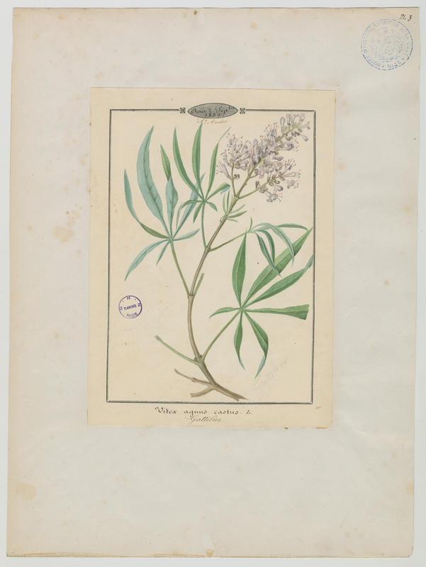 BARLA Jean-Baptiste (attribué à) : Gattilier, plante à fleurs