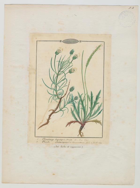 BARLA Jean-Baptiste (attribué à) : Plantain corne-de-cerf, plante à fleurs