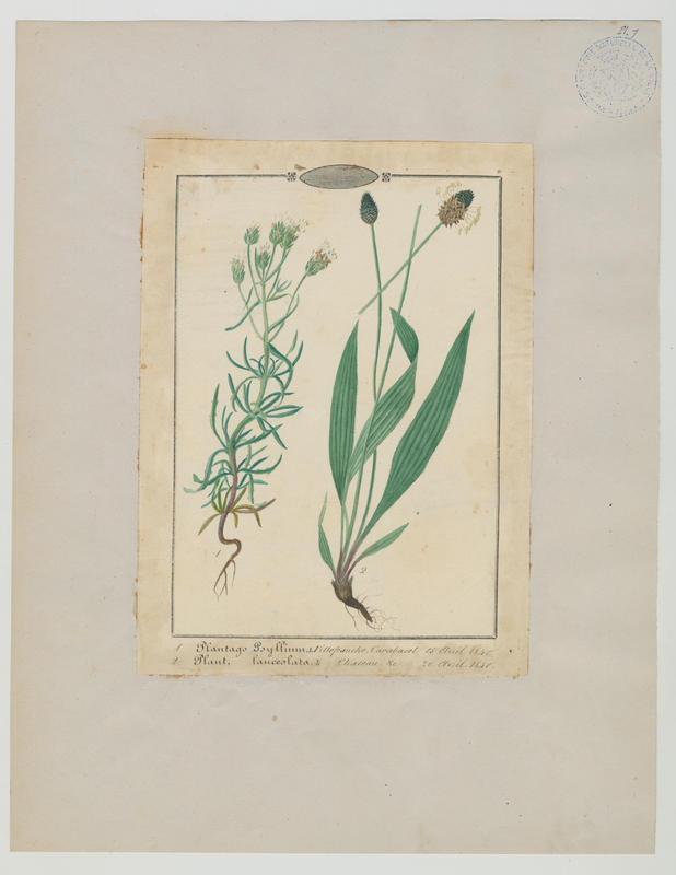 BARLA Jean-Baptiste (attribué à) : Plantain étroit, plante à fleurs