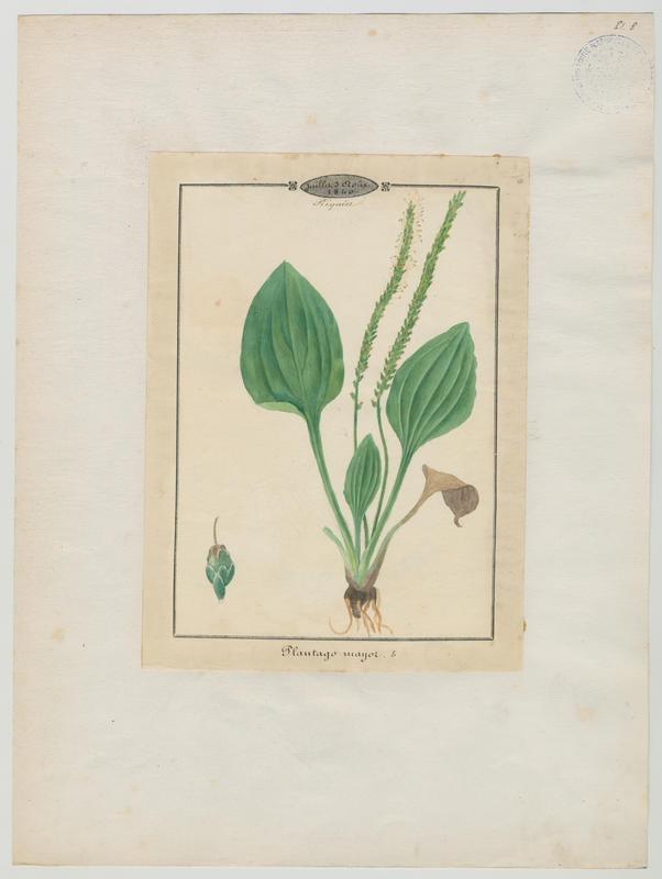 Grand plantain ; Plantain majeur ; Plantain des oiseaux ; plante à fleurs_0