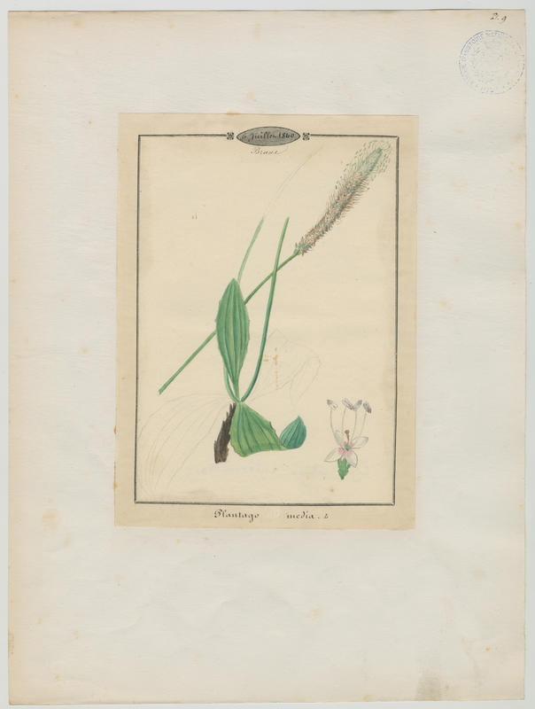 Plantain bâtard  ; plante à fleurs_0