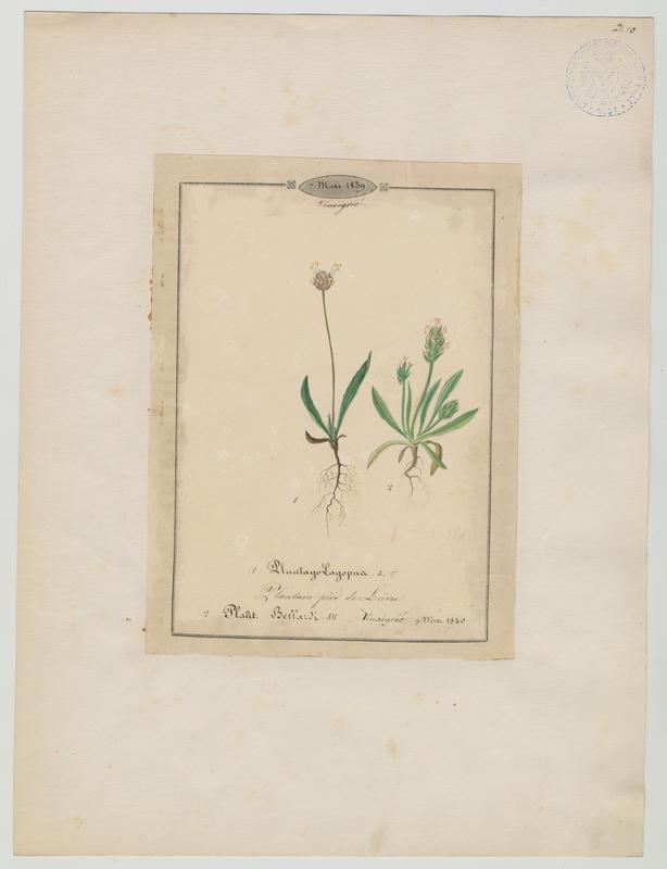 BARLA Jean-Baptiste (attribué à) : Plantain pied de lièvre, plante à fleurs