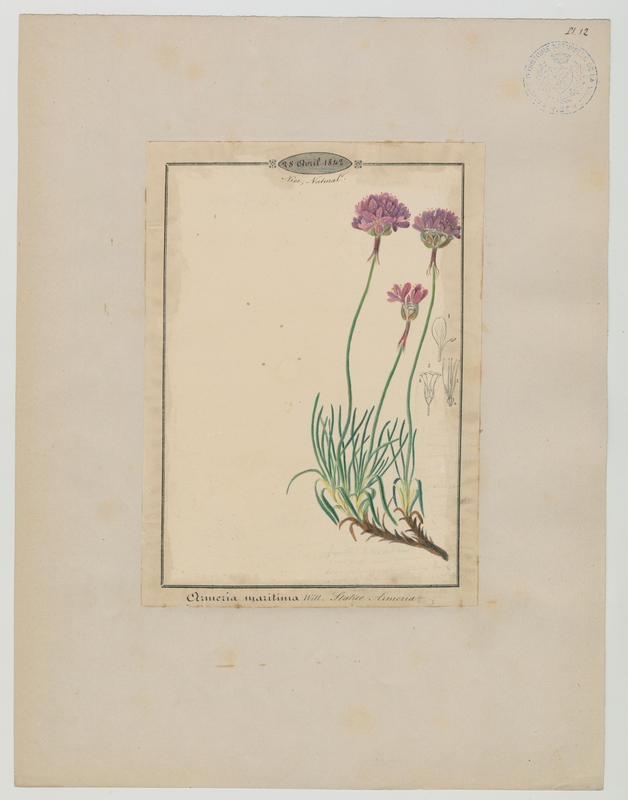 BARLA Jean-Baptiste (attribué à) : Arméria maritime, plante à fleurs