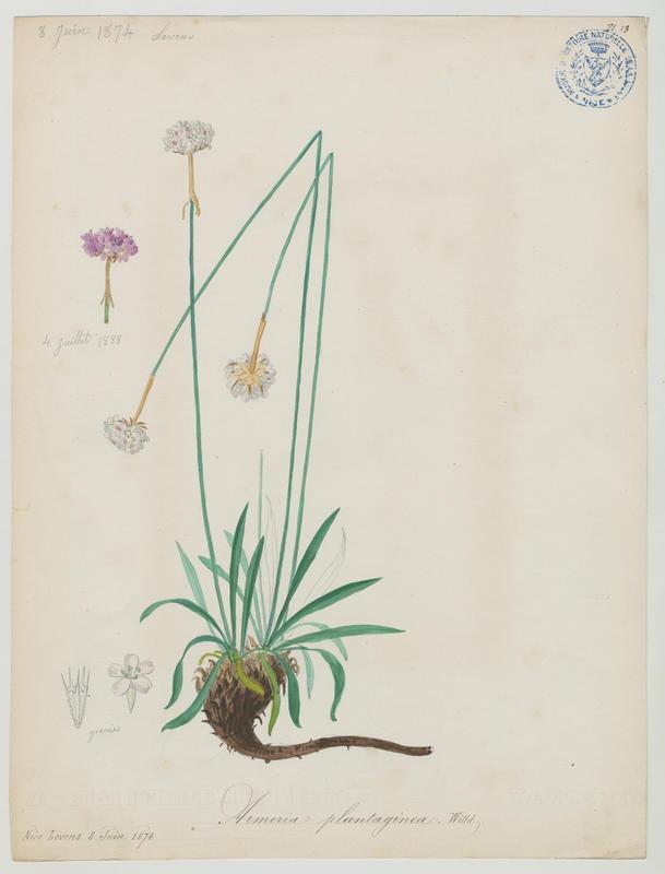 BARLA Jean-Baptiste (attribué à) : Arméria des sables, plante à fleurs