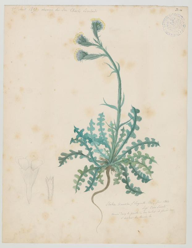 Limonium à feuilles sinuées ; plante à fleurs_0