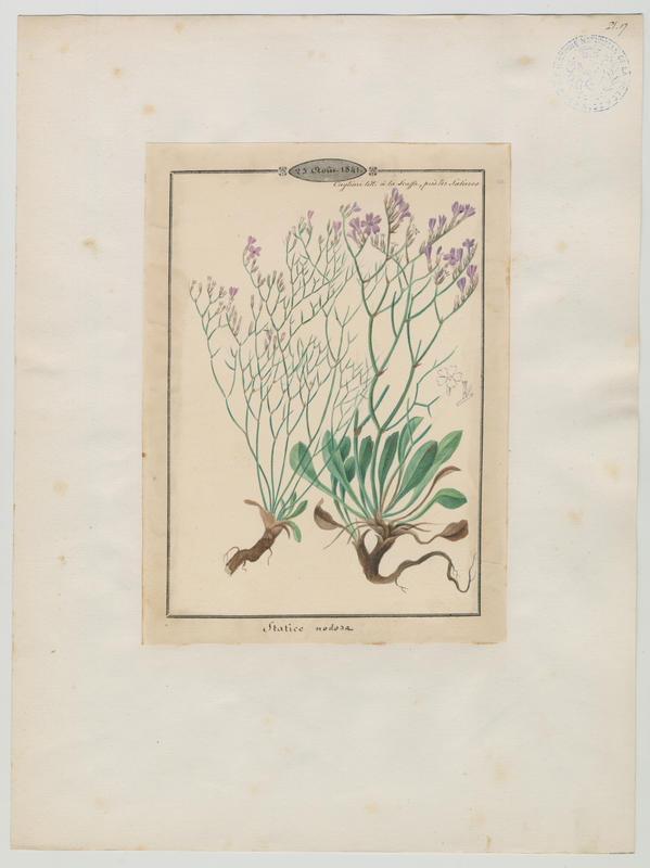 BARLA Jean-Baptiste (attribué à) : Saladelle, plante à fleurs