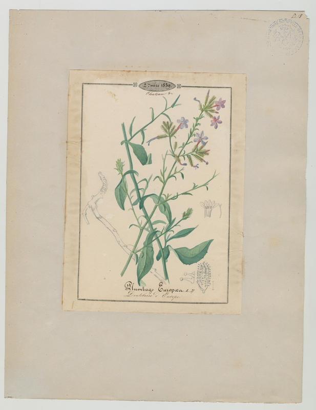 BARLA Jean-Baptiste (attribué à) : Dentelaire d'Europe, plante à fleurs